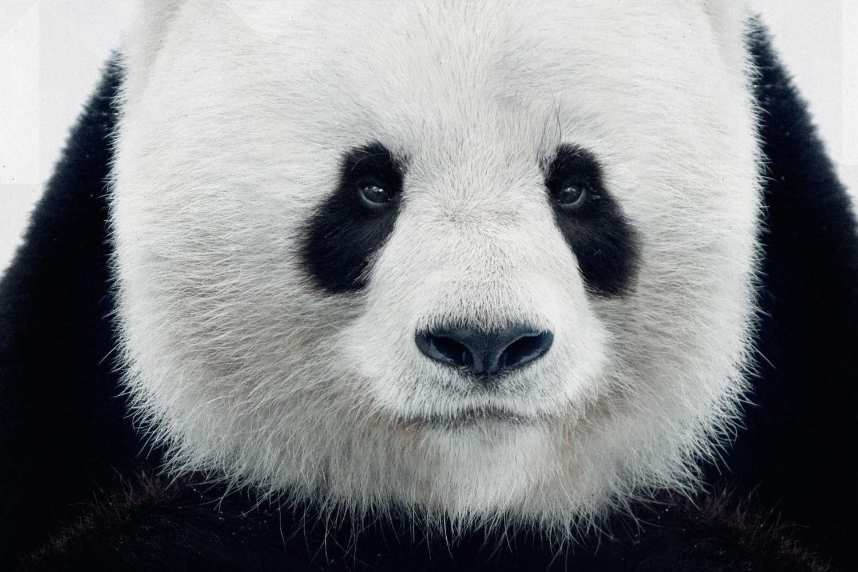 Osa Panda WWF